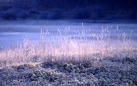 日光戦場ヶ原、凍ったヨシと下草