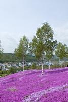 芝ざくら滝上公園の芝桜
