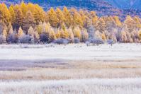栃木県 日光市 奥日光 霜の降りた小田代ヶ原のカラマツ林