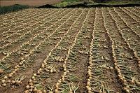 茨城県 つくば市 タマネギの収穫風景