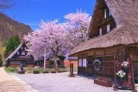 富山県 桜の咲く菅沼の合掌造り集落