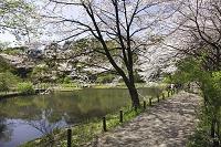 東京都 国立自然科学博物館_桜