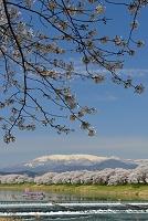 宮城県 大河原町 白石川堤一目千本桜と残雪の蔵王山
