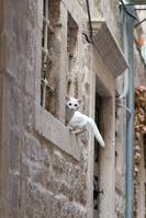 ドゥブロヴニク旧市街 窓枠に座る白ネコ