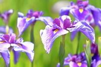 日本 菖蒲の花