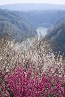 奈良県 月ヶ瀬梅林