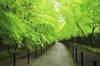 京都府 光明寺 雨上がりの新緑のもみじ参道