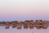 南アフリカ共和国 クルーガー国立公園 アフリカゾウの群れ
