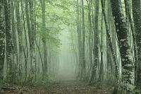 青森県 霧のブナ林と道