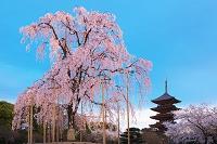 京都府 東寺の桜