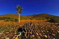 南アフリカ共和国 クランウィリアムス