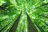 青森県 八甲田 若葉のブナ林