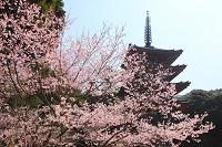 京都府 醍醐寺 桜と五重塔