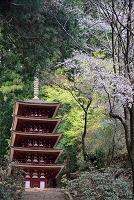 奈良県 室生寺国宝五重塔と桜