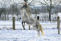 雪とアンダルシア馬