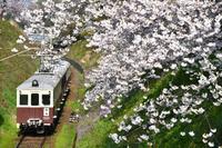 香川県 琴平電鉄 満開の桜とレトロ5000形回送電車(後追い)