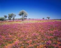 オーストラリア・ノーザンテリトリー 花畑