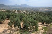 スペイン アンダルシア オリーブ畑