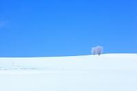北海道 富良野 凍てつく木立