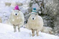 雪の中の2頭の帽子を被った羊