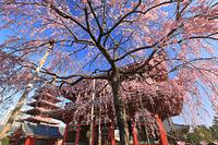 東京都 浅草寺 朝のしだれ桜と宝蔵門と五重塔