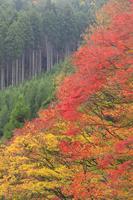 京都府 大楓の紅葉と北山杉