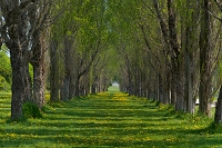 タンポポの野原ポプラの並木