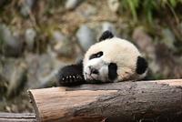 休むパンダ
