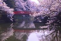 山形県 米沢城 朝方の菱門橋と桜