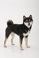 しっぽを丸めて立つ柴犬