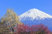 静岡県 早春の富士山と花桃とコブシ