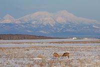 北海道 牡鹿の角突きと知床連山