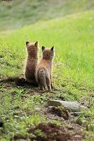 北海道 キタキツネの兄弟