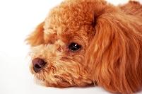 落ち込むトイプードル 犬
