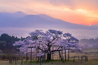 熊本県 朝の観音桜