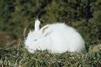 ウサギ(アンゴラ)