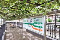長野県 中央本線 篠ノ井線 塩尻駅 ホームのブドウ園
