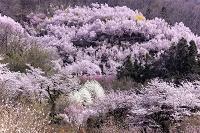 福島県 花見山