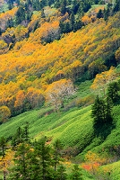 群馬県 志賀高原 渋峠からの展望 白樺林の黄葉