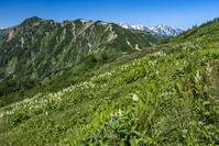 長野県 爺ヶ岳のお花畑と別山