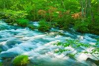 青森県 ヤマツツジと木漏れ日の奥入瀬渓流