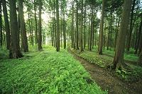 檜の並木と小道