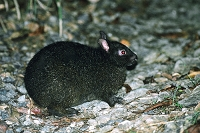 鹿児島県 奄美大島  アマミノクロウサギ