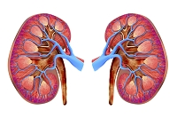 人体 人間の臓器
