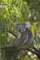 オーストラリア ユーカリの木に座るコアラ