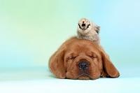 子犬とヒヨコ