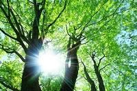 大カエデの新緑 太陽