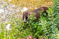 島根県 庭に現れたニホンアナグマ