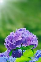 北海道 あじさいの花と日差し