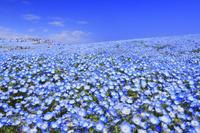 日本 茨城県 国営ひたち海浜公園のネモフィラ
